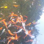 coy fish